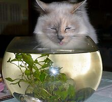 Tip #2 For Cats.......Always look casual when drinking from the fish bowl by Julie Sleeman