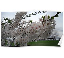 Beautiful White Blossoms Poster