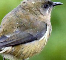 My Mate Is More Handome  - Female Bellbird - NZ Sticker