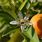 Orange Blossom 2  by Cody  VanDyke