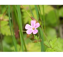 Herb Robert Photographic Print