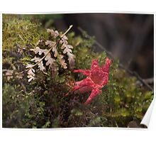 starfish fungus - tahune nature reserve Poster