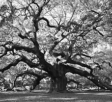 angel oak tree by cetrone