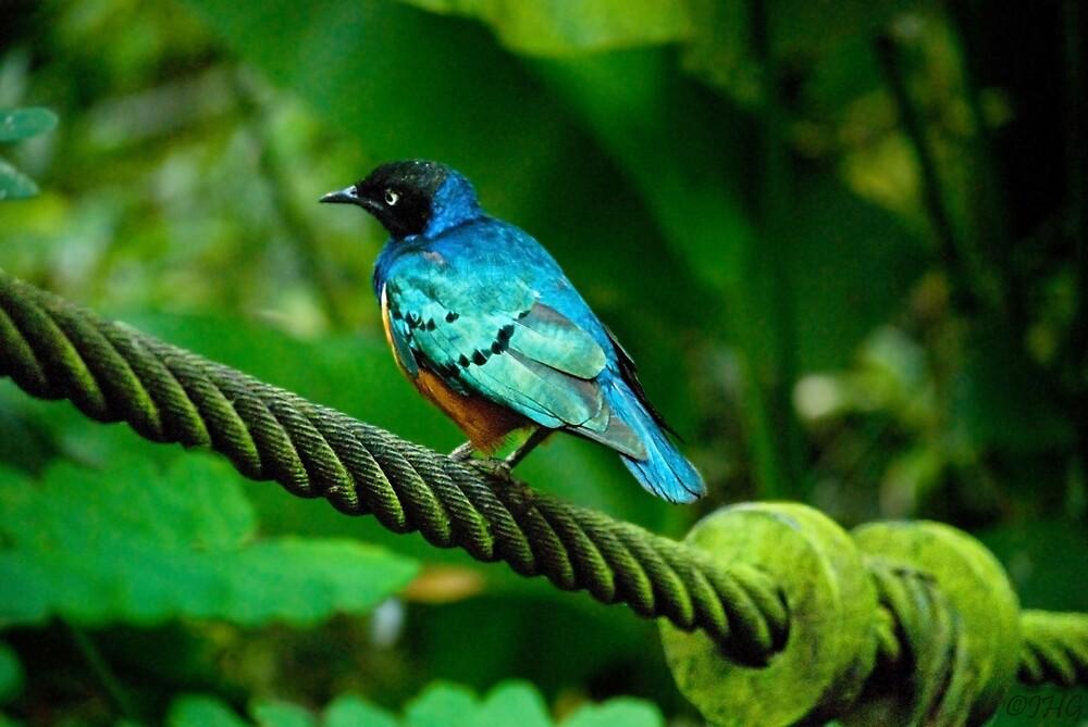 Superb Starling by IngeHG