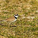 Little Plover by Robert Abraham