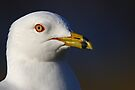 Ring-billed Gull by Jim Cumming