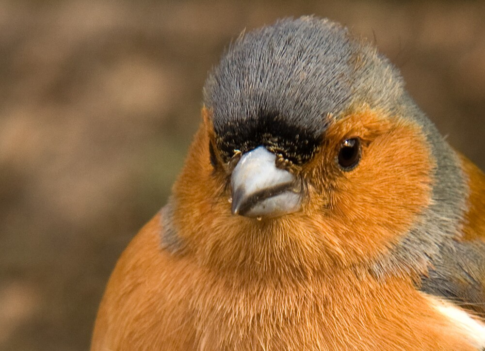 Chaffinch head by keighley