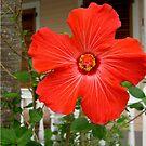 Bloom in Key West  by Cody  VanDyke