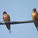 Barn Swallow by whisperjo