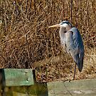 Great Blue Heron by Charlie