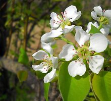 Pear Blossoms by Debbie Meyers