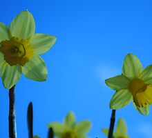 Daffodil Pair by BeckyMP
