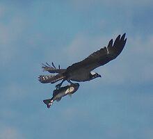 Osprey with Fish by Eaglelady
