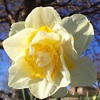 Daffodil On My Doorstep by Charlotte Stevens