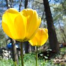Bright Sunny Tulips by NancyC