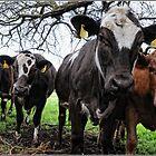 Cows by Chongatoka