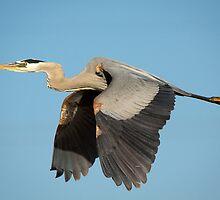 Great Blue Heron by Chris Heising