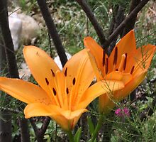 2 Golden Lilies by Dennis Melling