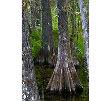 Cypress Trees Photographic Print
