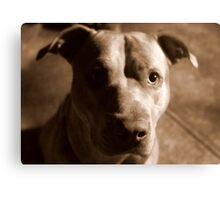 Jet The Pit Bull Canvas Print
