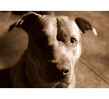 Jet The Pit Bull Photographic Print
