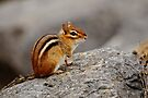 Eastern Chipmunk - Ottawa, Ontario by Michael Cummings