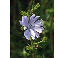 Chicory - Lavender Beauty Photographic Print