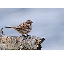 Song Sparrow - Ottawa, Ontario Photographic Print