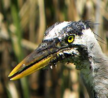 Great Blue Heron by Savannah Gibbs