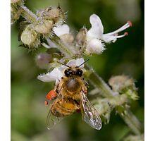 Basil Bee Photographic Print