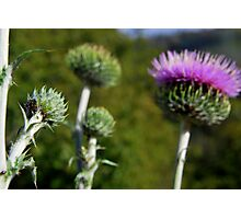 Star Thistle2-Merced River, Ca Photographic Print