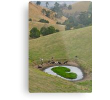 Cows at rest before hill-walking. Gippsland, Victoria. Metal Print