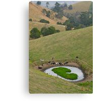 Cows at rest before hill-walking. Gippsland, Victoria. Canvas Print