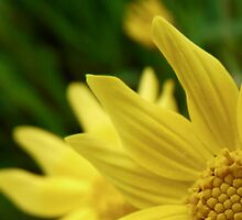 yellow petals by tego53