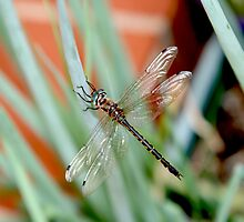 Dragonfly on Shallots 2 by MoonlightJo