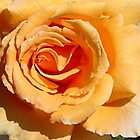 An Orange Rose 2 by TeAnne