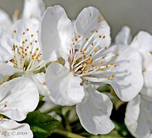 Apple blossoms in sunlight by pogomcl
