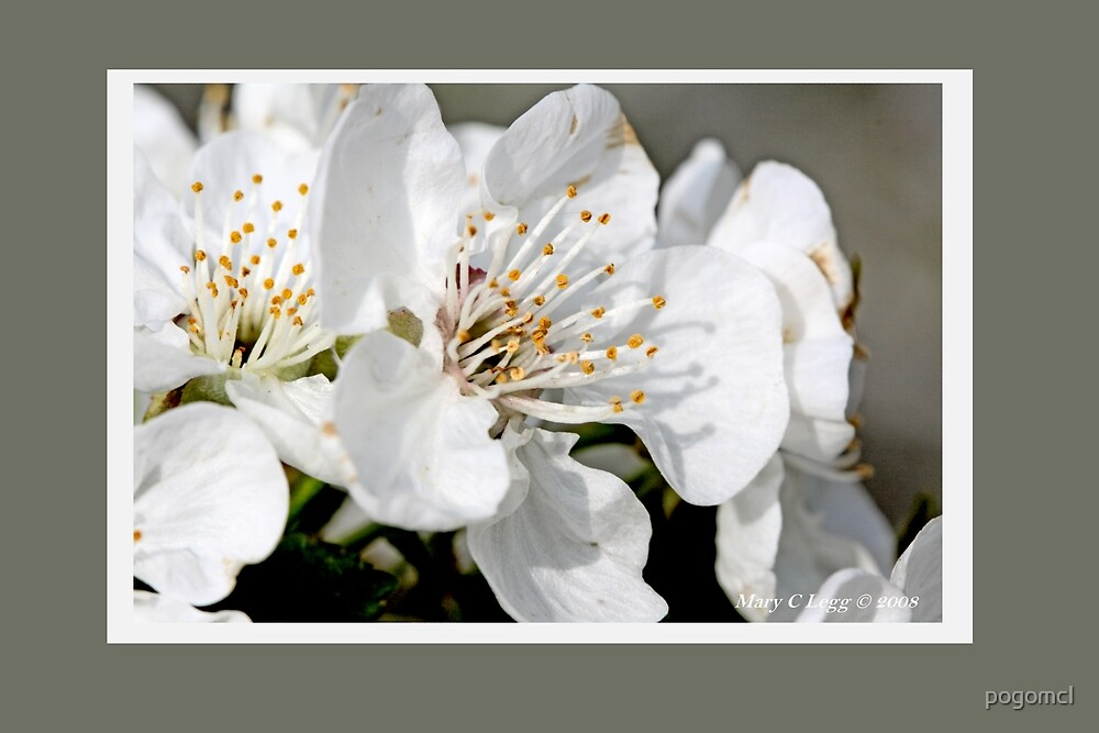 Cluster of apple blossoms B by pogomcl