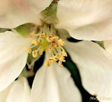 Apple blossom by pogomcl