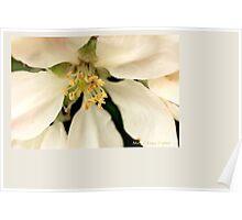 Apple blossom F Poster