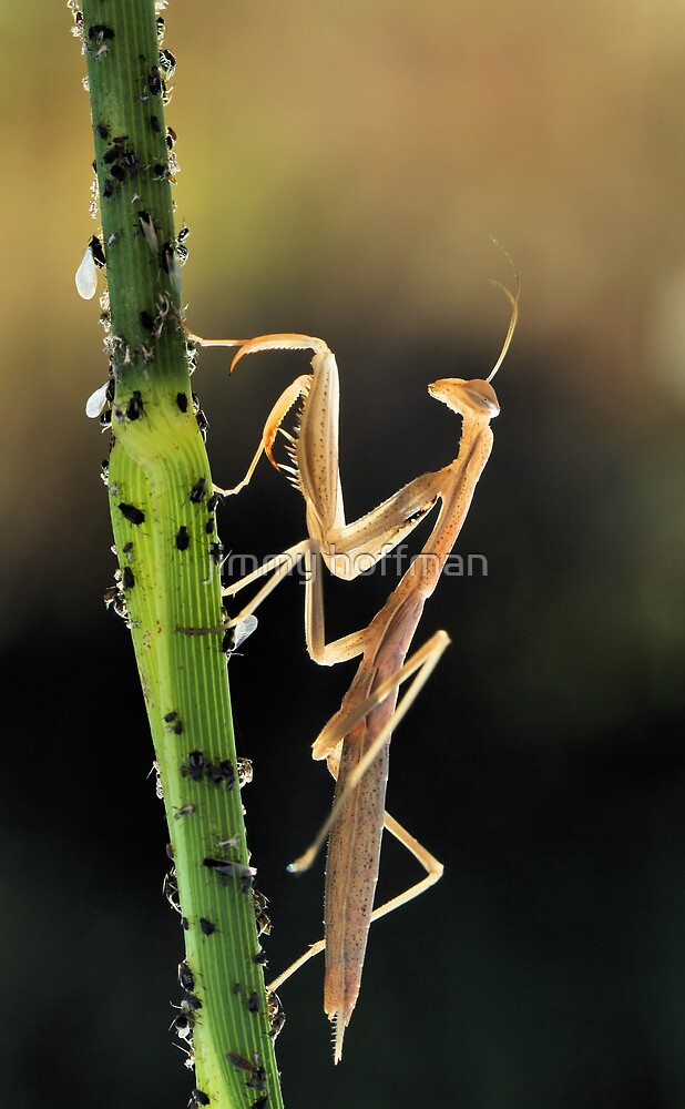 Mantis and aphids by jimmy hoffman