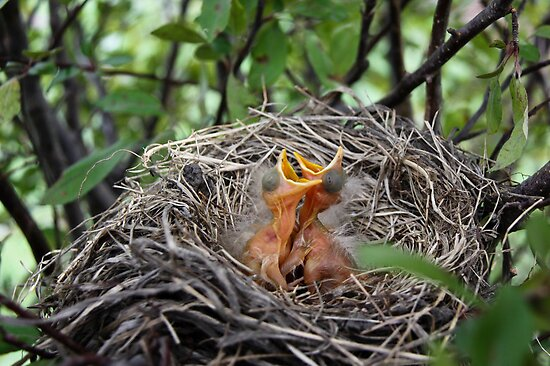Baby Robins in nest  by Robert Kelch, M.D.