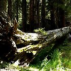 Sequoia National Forest Park, California Sequoia Trees by Rick Short