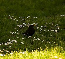 Blackbird by Roberto Irace