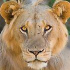 African Lion, Samburu, Kenya by Sue Earnshaw