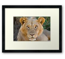 African Lion, Samburu, Kenya Framed Print