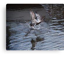 bird fight Canvas Print