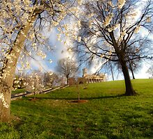 Cherry tree in bloom by capital builiding by Sven Brogren