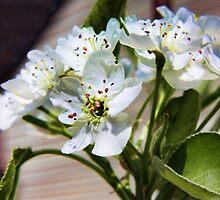 Pear tree Blossom by shadyuk