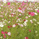 Cosmos Flowers by JandeBeer